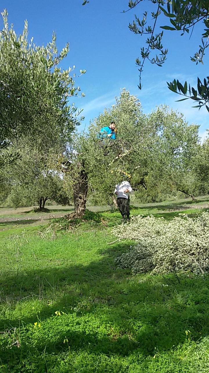 Olivenhain in Kreta - Nach dem Ernte