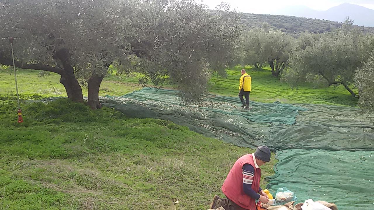 Olivenhain in Kreta